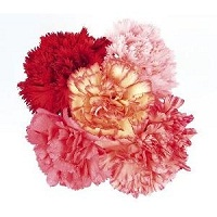 15 Mix Carnations bunch