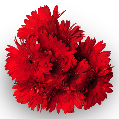 10 Red Gerberas packed in a cellophane paper