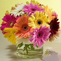 20 Mixed Gerberas in a desinger glass vase